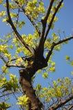 Albero con i fogli verdi Immagini Stock Libere da Diritti