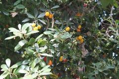 Albero con i frutti rotondi variopinti Fotografia Stock Libera da Diritti