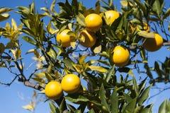 Albero con i limoni gialli Fotografia Stock