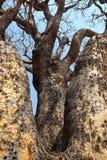 Albero con i rami dall'Africa fotografie stock libere da diritti