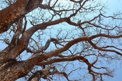 Albero con i rami dall'Africa immagine stock libera da diritti