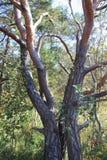 Albero con i tronchi gemellati nell'IBM Moorland in Austria settentrionale fotografia stock libera da diritti