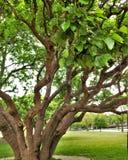 Albero con i tronchi multipli Immagini Stock Libere da Diritti