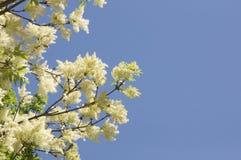 Albero con il fiore giallo con cielo blu nel fondo Fotografie Stock