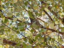 Albero con il piccione immagine stock
