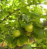 albero con l'albicocca della frutta Fotografie Stock Libere da Diritti