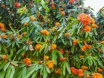Albero con l'aroma del fiore d'arancio Immagine Stock