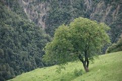 Albero con le alpi su fondo Immagini Stock