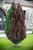 Albero con le foglie asciutte Fotografie Stock Libere da Diritti