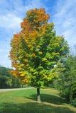 Albero con le foglie cambianti, IL Immagini Stock Libere da Diritti