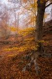 Albero con le foglie colorate in autunno al parco naturale di Montseny Fotografia Stock Libera da Diritti