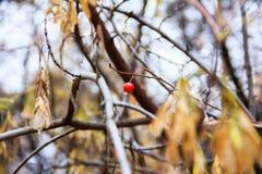 Albero con le foglie di giallo e la bacca di sorbo nel giorno di autunno Immagini Stock