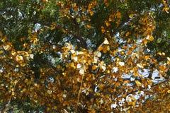 Albero con le foglie dorate Immagini Stock