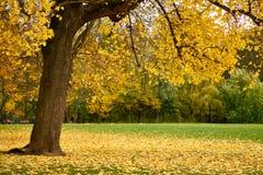 Albero con le foglie dorate sulla radura Immagini Stock Libere da Diritti