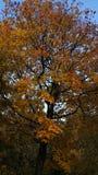 Albero con le foglie ed il blu di giallo il cielo Immagine Stock Libera da Diritti