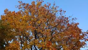 Albero con le foglie ed il blu di giallo il cielo Immagini Stock Libere da Diritti