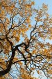 Albero con le foglie gialle Immagini Stock