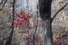 Albero con le foglie rosse al percorso rampicante nel parco nazionale di Seoul Fotografia Stock