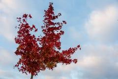 Albero con le foglie rosse sotto Pale Blue Sky immagine stock libera da diritti