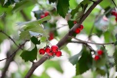 Albero con le foglie verdi e le bacche rosse Priorità bassa della natura Fotografia Stock Libera da Diritti