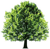 Albero con le foglie verdi isolate su backgroun bianco Immagini Stock Libere da Diritti