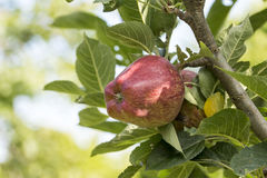Albero con le mele rigide di qualità Fotografia Stock Libera da Diritti