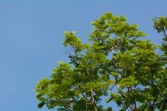 Albero con le nuove foglie Fotografia Stock Libera da Diritti