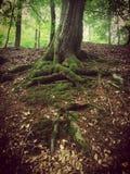 Albero con le radici esposte profonde coperte da muschio fotografie stock