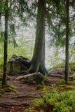 Albero con le radici sulla pietra Fotografia Stock