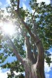 Albero con luce solare che splende da parte a parte Immagine Stock