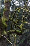 Albero con muschio Fotografie Stock
