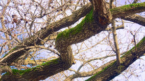 Albero con muschio Immagini Stock