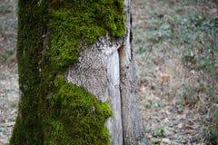albero con muschio sulle radici in una foresta verde o muschio sul tronco di albero Corteccia di albero con muschio verde Natura  fotografia stock