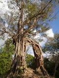 Albero con rovina del tempiale in Sambor Prei Kuk Fotografia Stock