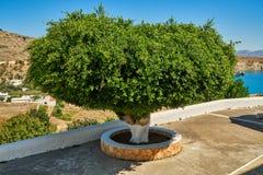 Albero con un'ampia corona Fotografia Stock