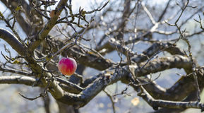 Albero con una singola frutta Fotografia Stock