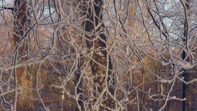 Albero congelato nel parco di inverno Albero nel fondo di inverno di brina archivi video