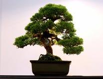 Albero conservato in vaso artistico dei bonsai in vaso di fiore Fotografia Stock