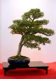 Albero conservato in vaso artistico dei bonsai in vaso di fiore Fotografie Stock Libere da Diritti