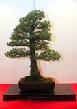 Albero conservato in vaso artistico dei bonsai in vaso di fiore Immagini Stock Libere da Diritti