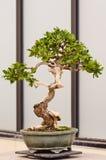 Albero conservato in vaso dei bonsai Immagine Stock