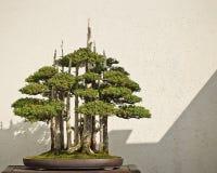 Albero conservato in vaso dei bonsai Fotografia Stock