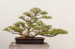 Albero conservato in vaso dei bonsai Fotografia Stock Libera da Diritti