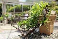 Albero conservato in vaso nei giardini botanici di Singapore Immagini Stock Libere da Diritti