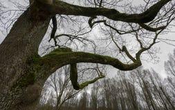 Albero coperto di muschio in foresta Fotografia Stock Libera da Diritti