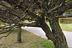Albero coperto di muschio nel parco Fotografia Stock