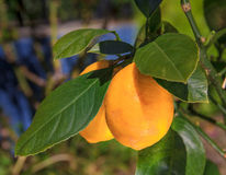 Albero crescente con i limoni Immagini Stock Libere da Diritti