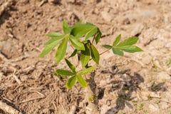Albero crescente della piccola manioca Immagini Stock Libere da Diritti