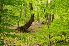 Albero curvo nella foresta fotografie stock