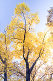 albero d'ardore Fotografie Stock